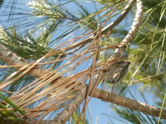 cikáda (Cicadoidea)